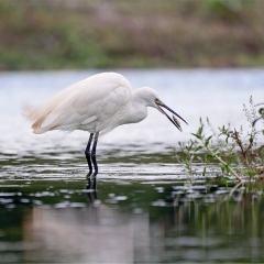 Highly Commended_Little Egret With Fish_by_Wagstaff, Paul