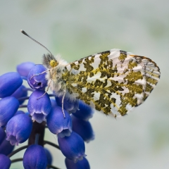 Orange Tip On Grape Hyacinth_by_Wood, Steven