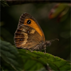 Pyronia Tithonus - Gatekeeper_by_Sallett, Sally