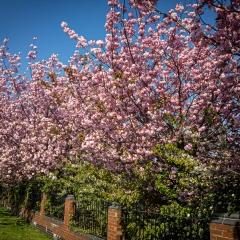 Blossom - Ian Waddington