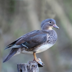 16-Female-Mandarin-Duck