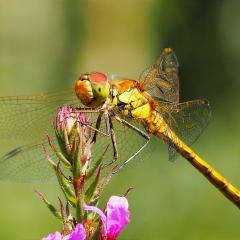 Commended Digital - Common Darter by Neil Clarck