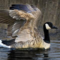 08-Canada-Goose
