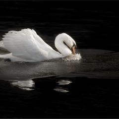 23-Swan