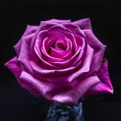 Rose by John Evans