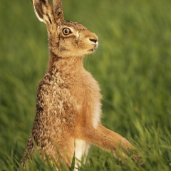 Brown Hare On Barley by Bernard Todd