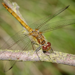 Common - Darter Dragonfly by Tim Jonas