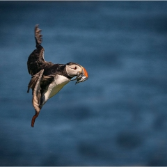 1st Place_Puffin In Flight On Farne Island_by_Carter, Neil