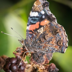 Autumnal Red Admiral_by_Jonas, Tim
