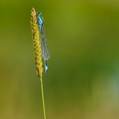 Blue-tailed Damselfly_by_Upson, John