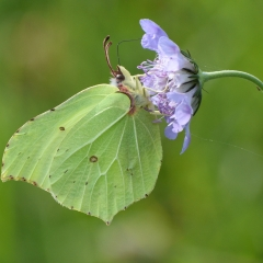 Brimstone Butterfly On Scabious_by_Gaynor, Roger