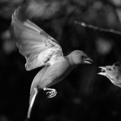 Green (grey) Finch Feeding Young_by_Jeffery, Daniel