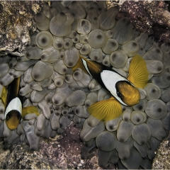 Highly Commended_Clown Fish_by_Wells, Peter