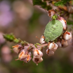 Shield Bug In Heather_by_Jonas, Tim