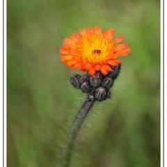 1st - Orange Hawkweed by Sally Sallett