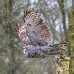 Great Grey Owl Take Off - Tonbridge