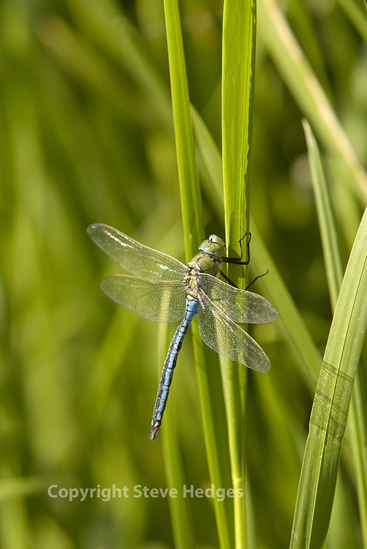 Emperor-Dragonfly-for-focus