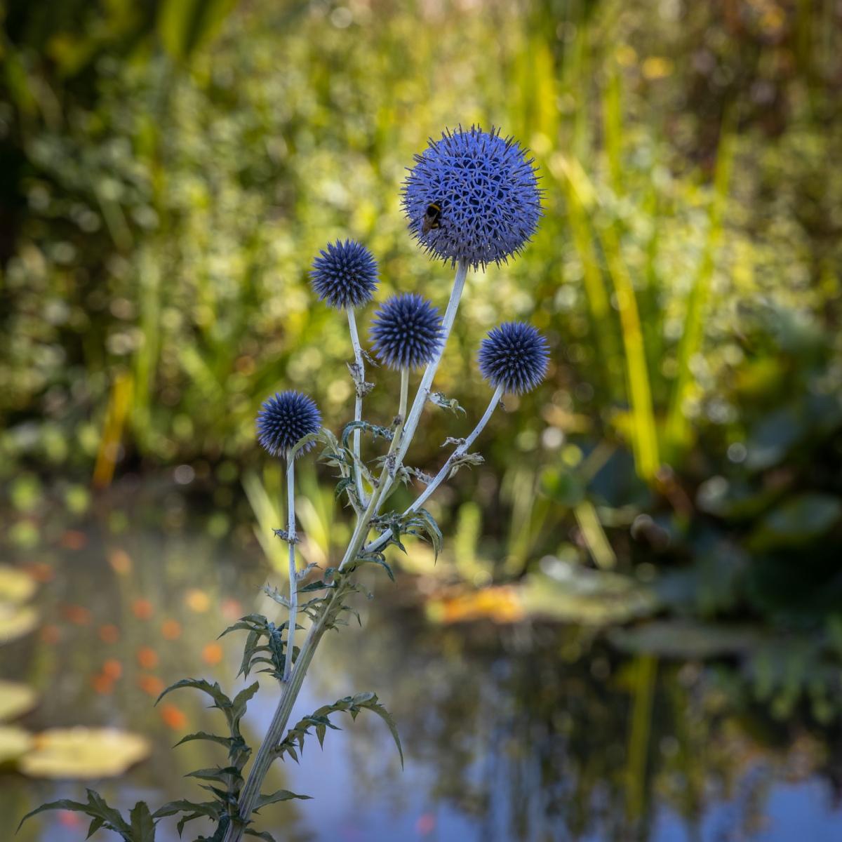 Blue-Southern-Globe-Thistle_by_Robert-Bilton