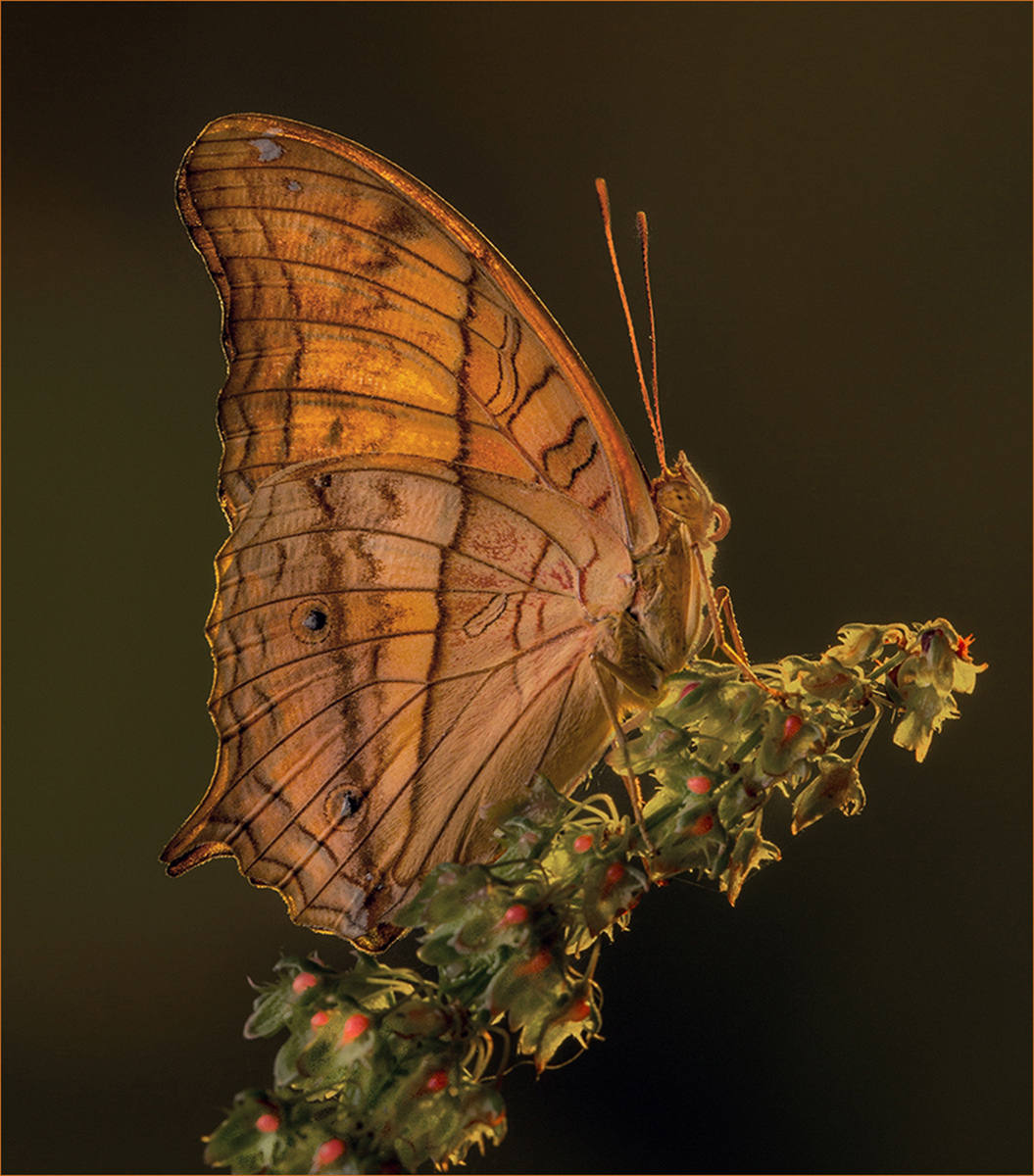 Commended_Thai-Cruiser-Butterfly_by_Paul-Wagstaff