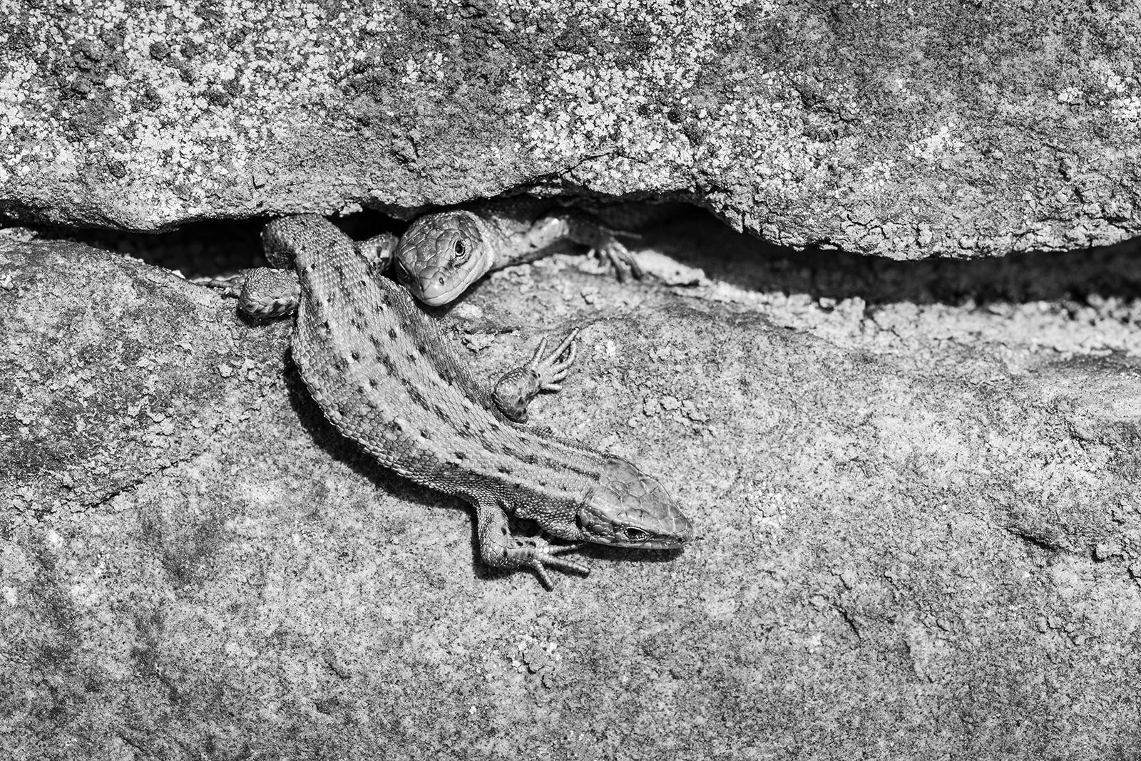 Lizards_by_Sara-Cremer