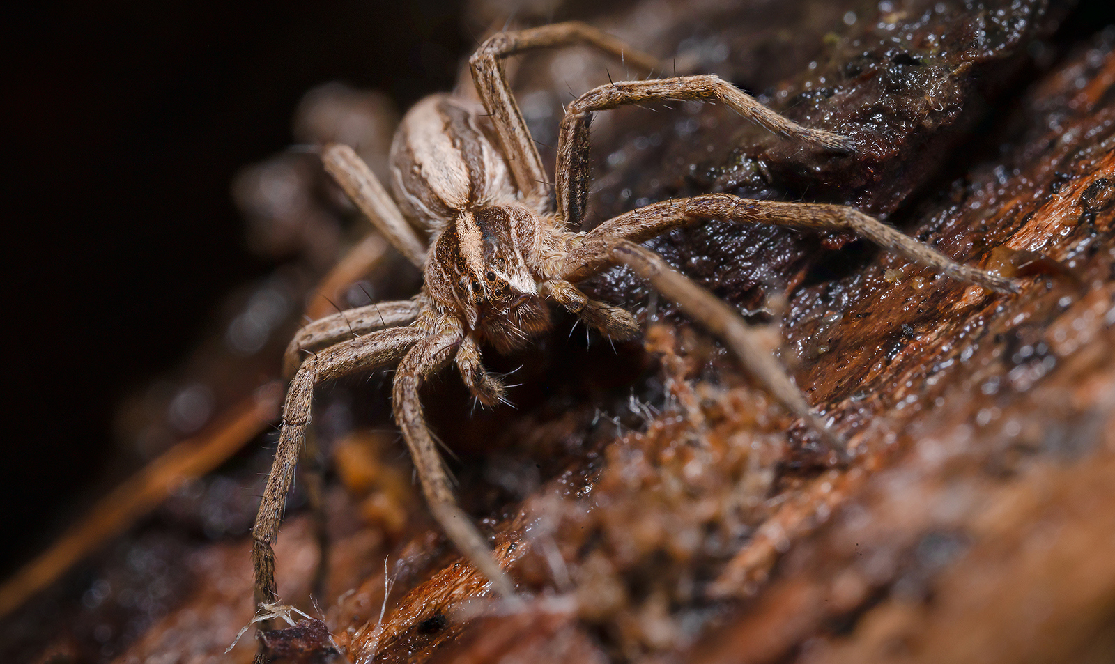 Nursery-Web-Spider_by_Tim-Jonas
