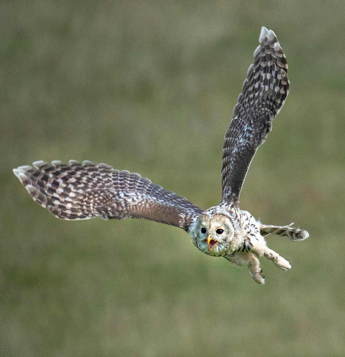 Tawny-Owl_by_Patrick-Maloney