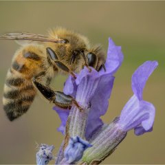 Commended_Bee-Collecting-Nectar_by_Michelle-Howell