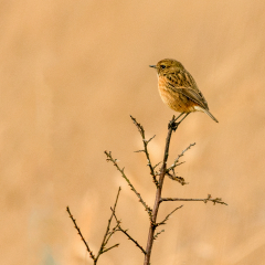 Female-Stonechat_by_Alan-Lawrence