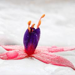 Fuchsia-In-Ice_by_Neil-Clarke