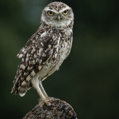 Highly-Commended_Little-Owl_by_Peter-Wells