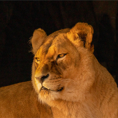 Lion_by_Alan-Lawrence