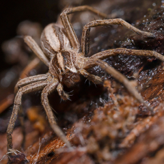 Nursery-Web-Spider_by_Tim-Jonas