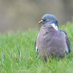 Wood-Pigeon_by_Roger-Gaynor
