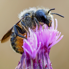 2ND PLACE_Bee On Thistle_by_Neil Clarke