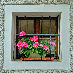 Pelargonium-Passing-Joy_by_Chris-New