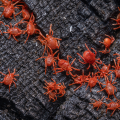 Red-Velvet-Mites_by_Tim-Jonas