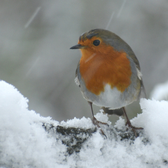 Robin-Red-Breast_by_Roger-Gaynor