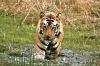 1st Digital - Tiger Splashing - Pulak Sahay