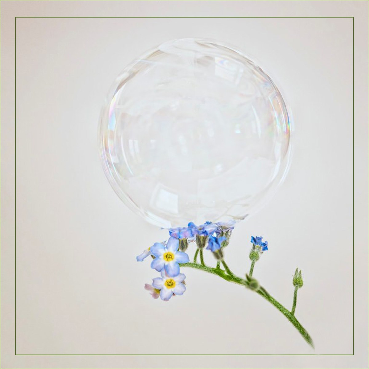Soap bubble on Myosotis