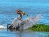 38-goliath-heron