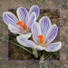 a-couple-of-crocuses